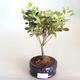 Venkovní bonsai - Rhododendron sp. - Azalka růžová VB2020-794 - 2/3