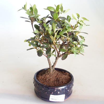 Venkovní bonsai - Rhododendron sp. - Azalka růžová VB2020-795 - 2