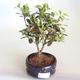 Venkovní bonsai - Rhododendron sp. - Azalka růžová VB2020-795 - 2/3