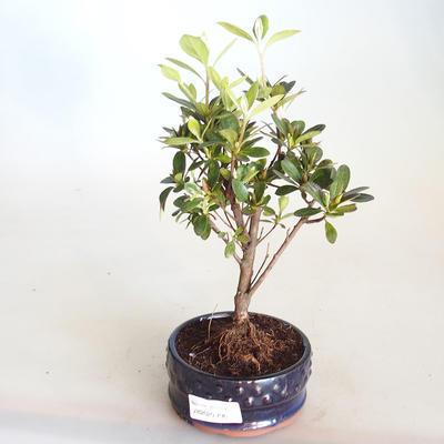 Venkovní bonsai - Rhododendron sp. - Azalka růžová VB2020-796 - 2