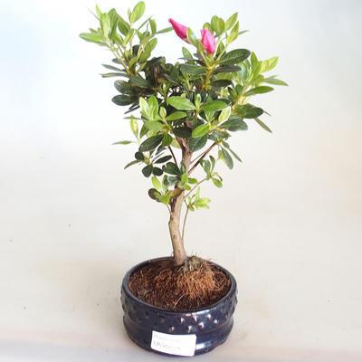 Venkovní bonsai - Rhododendron sp. - Azalka růžová VB2020-797 - 2