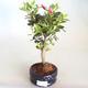 Venkovní bonsai - Rhododendron sp. - Azalka růžová VB2020-797 - 2/3