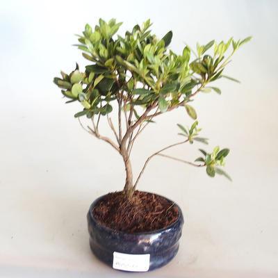 Venkovní bonsai - Rhododendron sp. - Azalka růžová VB2020-798 - 2