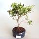 Venkovní bonsai - Rhododendron sp. - Azalka růžová VB2020-798 - 2/3