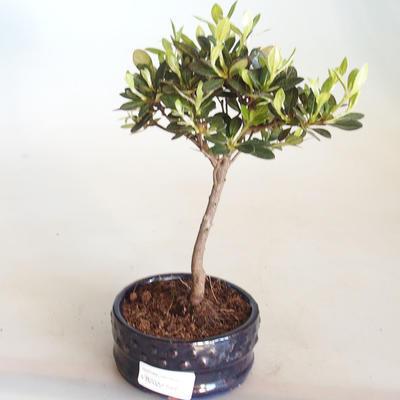 Venkovní bonsai - Rhododendron sp. - Azalka růžová VB2020-799 - 2
