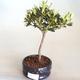 Venkovní bonsai - Rhododendron sp. - Azalka růžová VB2020-799 - 2/3