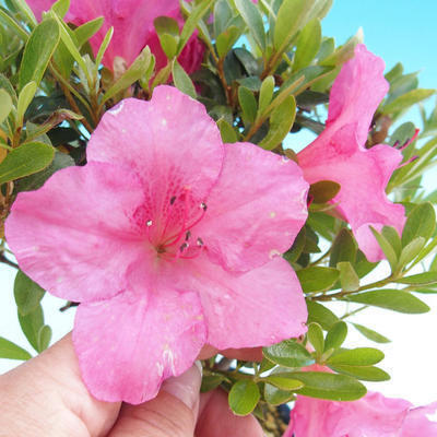 Venkovní bonsai - Rhododendron sp. - Azalka růžová - 2