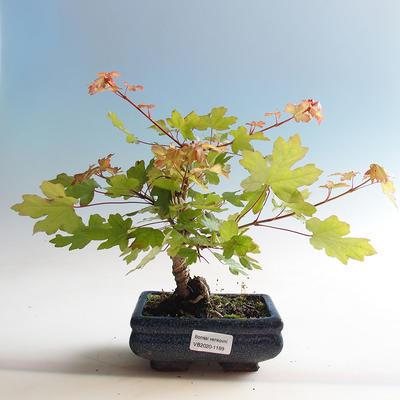 Venkovní bonsai-Acer campestre-Javor babyka - 2
