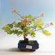 Venkovní bonsai-Acer campestre-Javor babyka - 2/2