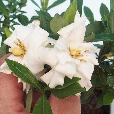 Pokojová bonsai - Gardenia jasminoides-Gardenie - 2