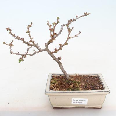 Venkovní bonsai - Chaneomeles japonica - Kdoulovec japonský - 2
