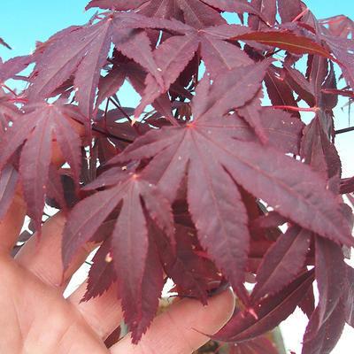 Venkovní bonsai - Acer palm. Atropurpureum-Javor dlanitolistý - 2