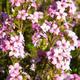Pokojová bonsai - Coleonema - Koleonema - 2/2
