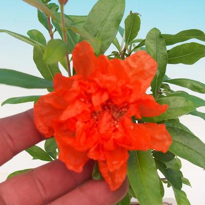 Pokojová bonsai-PUNICA granatum nana-Granátové jablko - 2
