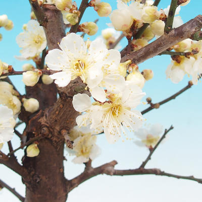 Venkovní bonsai -Japonská meruňka - Prunus Mume - 2