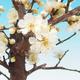 Venkovní bonsai -Japonská meruňka - Prunus Mume - 2/2