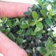Pokojová bonsai - Olea europaea sylvestris -Oliva evropská drobnolistá PB220496 - 2/5
