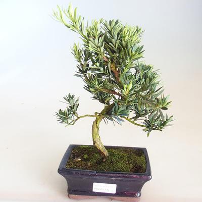 Izbová bonsai - Akacia Arabica PB2191212 - 2