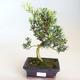 Izbová bonsai - Akacia Arabica PB2191212 - 2/6