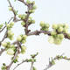 Izbová bonsai - Podocarpus - Kamenný tis PB2191213 - 2/7