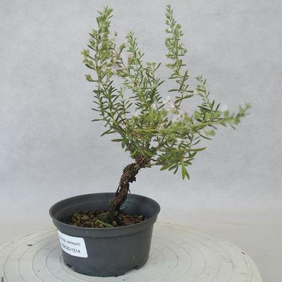 Vonkajšie bonsai - Saturejka horská - Satureja montana - 2