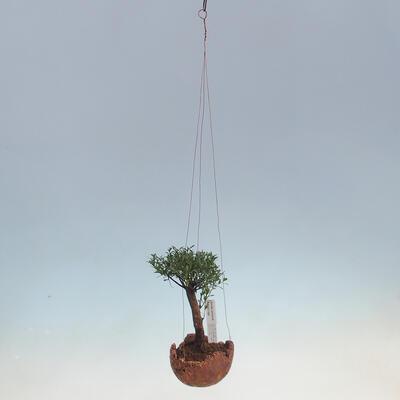 Kokedama v keramice -Syzygium - Pimentovník - 2