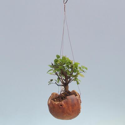 Kokedama v keramice -Sagerecia čajová - Sageretia thea - 2