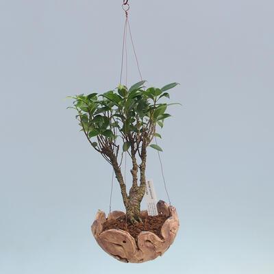 Kokedama v keramice - malolistý ficus - Ficus kimmen - 2