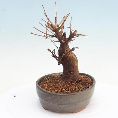 Vonkajšie bonsai - Javor Buergerianum - Javor Burgerův - 2
