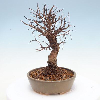 Vonkajšie bonsai - Zelkova - Zelkova Nirom - 2