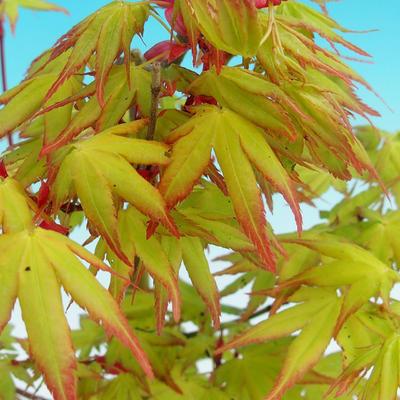 Vonkajšie bonsai - Javor dlaňolistý zlatý - 2