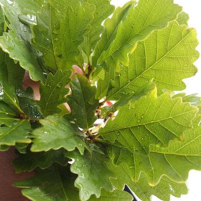 Venkovní bonsai-Quercus robur-Dub letní - 2