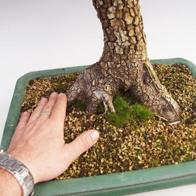 Vonkajšie bonsai -Javor korkový VB40426 - 2