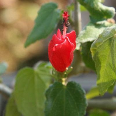 Pokojová bonsai - malokvětý ibišek PB22095 - 2