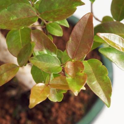 Pokojová bonsai - Australská třešeň - Eugenia uniflora - 2