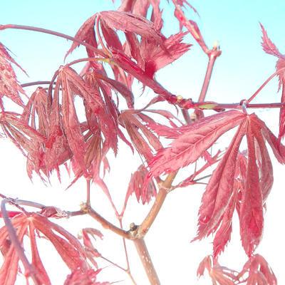 Venkovní bonsai - Javor palmatum Trompenburg - Javor  dlanitolistý červený - 2