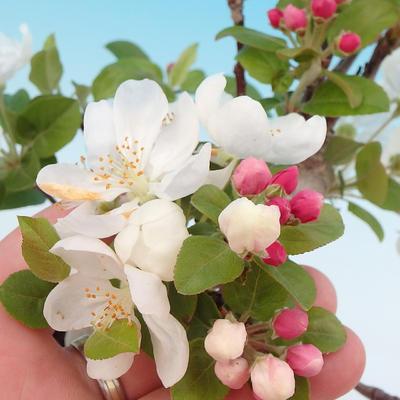 Venkovní bonsai - Malus halliana -  Maloplodá jabloň - 2