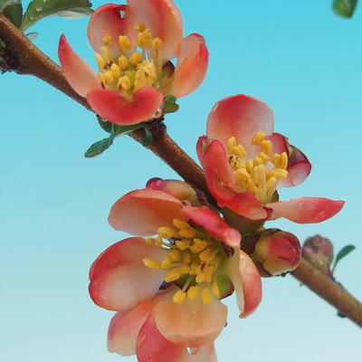 Venkovní bonsai - Chaneomeles s. Red Joy - Kdoulovec - 2