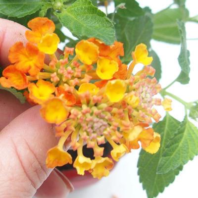 Pokojová bonsai-Lanthana camara-Libora proměnlivá - 2