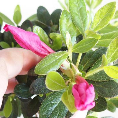 Venkovní bonsai - Rhododendron sp. - Azalka růžová VB2020-793 - 2