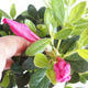 Venkovní bonsai - Rhododendron sp. - Azalka růžová VB2020-793 - 2/3