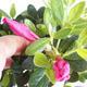 Venkovní bonsai - Rhododendron sp. - Azalka růžová VB2020-802 - 2/3