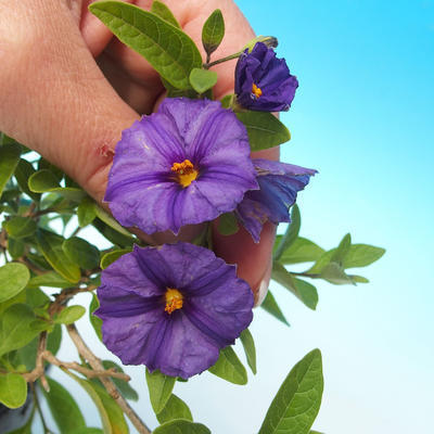 Pokojová bonsai - Hořcový stromek-Solanum rantonnetii - 2