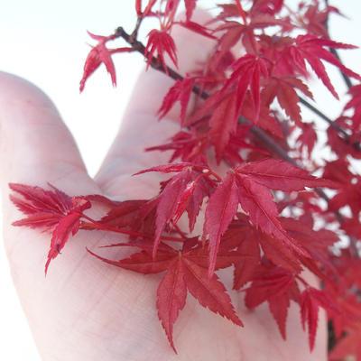 Venkovní bonsai - Javor dlanitolistý - Acer palmatum DESHOJO - 2