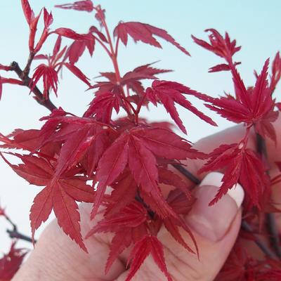 Vonkajšie bonsai - Javor dlaňolistý - Acer palmatum DESHOJO - 2