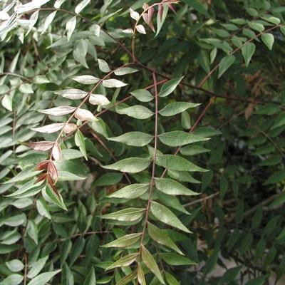Pokojová bonsai -  Pistácie - 2