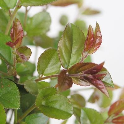 Pokojová bonsai - Sagerécie thea - Sagerécie thea - 2