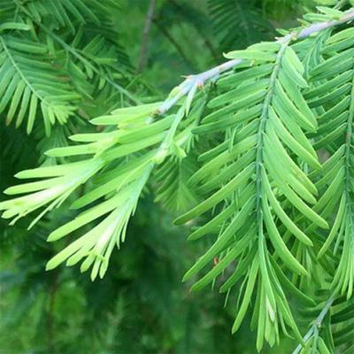 Venkovní bonsai-LESÍK - Metasequoia glyptostroboides - Metasekvoje čínská VB2020-816 - 2