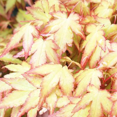 Venkovní bonsai - Javor dlanitolistý - Acer palmatum Orange - 2