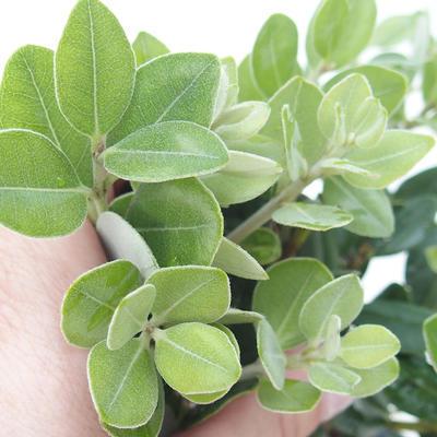 Pokojová bonsai - Metrosideros excelsa - Železnatec ztepilý PB220504 - 3